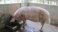 12岁猪坚强步履蹒跚日渐消瘦死后将做成标本
