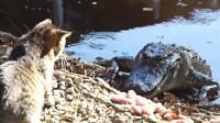 当猫咪遇上鳄鱼之后,会发生什么画面呢?一起见识下