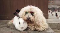 大爷买兔给狗当宠物 12年丢兔100多只
