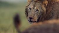 雄狮被鬣狗群围攻,眼神中满是绝望,直到另一只雄狮出现!