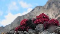 传统中医药-培育红景天