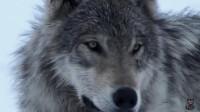 男子研究狼的习性,两年不洗澡后成为狼王,他妻子的反应让人意外