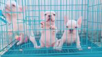 三只小狗想越狱,不小心把门推开后,马上都凑上去了