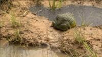 数万小蝌蚪在小水洼里快干死了,牛蛙爸爸成功引进渠水救下蝌蚪!