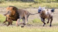 土狼追捕角马,关键时刻狮子登场,土狼的下场是这样