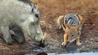 胡狼当疣猪面猎杀小疣猪,疣猪爸爸立马暴走:看我收拾你们!