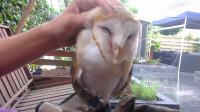 严肃又可爱的猫头鹰,每天都想要铲屎官摸摸头