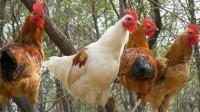鸡冠能吃吗,为什么农村老人常说:十年鸡头胜砒霜?看看专家怎么说