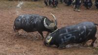 贵州斗牛:菜牛逃命差点摔了一跤,5万块钱牛买太不值得了