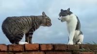 两只猫咪在墙头上相遇,这配音厉害了,真是太搞笑了!