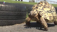 世界上跑的最快的乌龟,速度和人类短跑冠军差不多,兔子很无奈