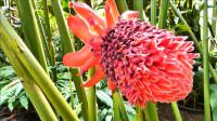神奇的火炬姜花,奥克兰冬季花园