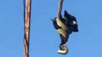 """3米蟒蛇""""神操作"""":身体倒挂天线下垂偷袭喜鹊"""