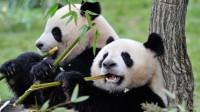 在外国人眼中,大熊猫是怎样一种存在?网友:一只熊猫可挑起战争