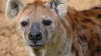 为了填饱肚子!鬣狗遇见猎豹 发起厮杀
