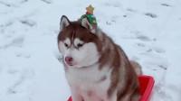为了圣诞节大家能及时收到礼物,圣诞哈士奇已经出发了