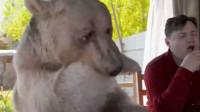 为什么棕熊在俄罗斯混得那么差?熊:还不是因为猎熊盔甲!
