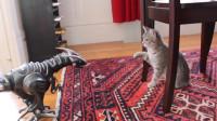 当猫咪遇到机器恐龙,想不笑都不行!