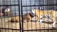 """雄狮也怕母老虎,老虎一招就让它""""跪地求饶"""""""