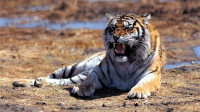 老虎身上剃毛后,皮肤上仍然有花纹,老虎:剃毛了,我还是王