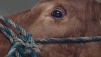 为什么牛在被宰杀的时候,会流泪?今天终于明白了!
