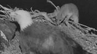 狐狸大晚上想偷蛋吃,鹰妈妈:老公还不来,孩子都没了!
