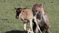 刚出生的牛羚被鬣狗盯上,牛羚宝宝天生开挂,成功逃脱鬣狗的围捕