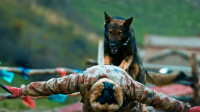 《血狼犬》护林犬冒死救主,率领群犬深山与狼搏斗,誓死营救主人