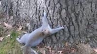 二哈喝醉舌头捋不直,松树喝醉爬不上树,跟大树较真的模样真搞笑!