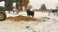 不要在牛吃草的时候拿走它的草,否则会背它的反应笑死,镜头拍下搞笑全过程