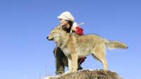 俗话说狼是冷血动物,那养狼人和狼该怎么相处?看完后明白了