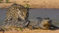 陆地最凶猛的老虎,被水里最凶猛的鳄鱼偷袭,谁能更胜一筹?