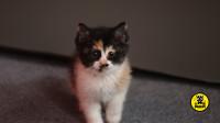 丑猫黄富贵成长日记(2):小奶猫刚搬进新家,就因为吃了太多的罐头拉稀了