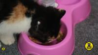 丑猫黄富贵成长日记(3):幼猫因吃罐头拉稀,吃牛初乳益生菌即可康复,不必吃消炎药