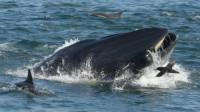男子潜水被鲸鱼吞掉 屏住呼吸后竟被吐出来