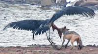 豺狼偷袭水边捕鱼的鹤!一口咬住它的脖子!这次手段却格外的温柔!