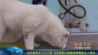 巴西版忠犬八公上演 白色秋田犬原路苦等离世主人两年