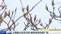 上海最大白玉兰树  藏身崇明岛老厂区