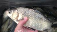 钓鱼实战152,初春根据鱼情来调整饵料状态和鱼钩来钓鲫鱼