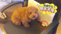 傻狗狗捡到一个饺子,舍不得吃,竟把饺子藏椅子里!