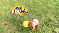 泰迪毛孩子草坪玩耍,被气球吓破狗胆!