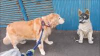 主人带小狗狗回来,大金毛惊喜到在地上不停打滚:它太可爱啦!