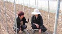 刘姨说三农:大棚里种的番茄都是要用药的为了除虫
