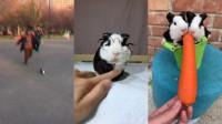 主人带着孩子和小豚鼠出来玩耍,小豚鼠的样子太可爱了