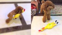 这样的狗子带出去好丢人,看上朋友家的玩具,非要带回家!