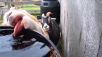 宠物搞笑视频 被这几只宠物给笑呛了 喝水的样子太优秀了