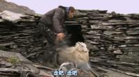 太搞笑了,一只羊被2个男人抱着睡了一晚上!第二天跑得比兔子还快!