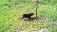 羊、猫咪碰到电栅栏纷纷逃跑,而狗狗则与电栅栏扛上了!咬个不停