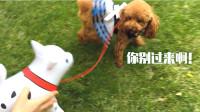 小泰迪出去玩耍,被充气狗狗吓的乱跑!