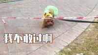没见过这么胆小的狗子,一个塑料绳都难倒它了!